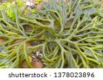 detail of branches of codium... | Shutterstock . vector #1378023896