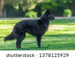 beautiful fun groenendael dog... | Shutterstock . vector #1378125929