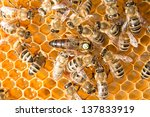 Queen Bee In A Beehive Laying...
