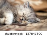 Stock photo small persian kitty sleeping 137841500