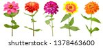 Stock photo colorful zinnia flowers celebrating blooming 1378463600