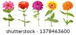 Colorful Zinnia Flowers ...