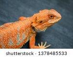 Red Orange Breaded Dragon  ...