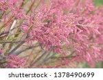 tamarix gallica  french... | Shutterstock . vector #1378490699