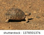 Stock photo the attractively marked leopard tortoise is the largest species of tortoise in southern africa 1378501376