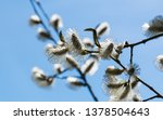 beautiful blooming willow in... | Shutterstock . vector #1378504643