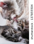 Stock photo mother cat and her kitten 137855504