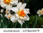 Narcissus Flowers In White And...