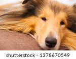 rough collie cute snout on sofa   Shutterstock . vector #1378670549