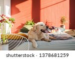 Stock photo happy smiling golden retriever puppy dog in bright sunny red walls stylish bedroom with chair 1378681259