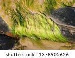 String Algae  Fibrous Green...