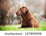 Brown Labrador Retriever Dog...