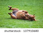 Cute Horse Rolling On The Grass