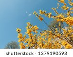 Yellow Spring Flowers On Tree...