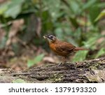 Id   Black Capped Babbler ...