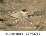 Nesting California Least Tern