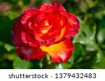 tea and hybrid roses of a grade ... | Shutterstock . vector #1379432483