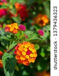 West Indian Lantana Flowers...