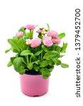 Pink Daisy Flowers  Bellis...