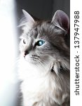 Blue eyed cat portrait in natural light - stock photo