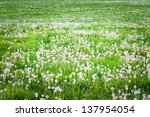 Field of dandelions, spring background with vignette. - stock photo