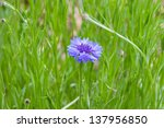 Blue cornflower in green meadow.  selective focus - stock photo