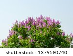 lagerstroemia speciosa at... | Shutterstock . vector #1379580740