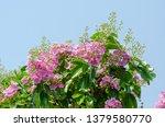 lagerstroemia speciosa at... | Shutterstock . vector #1379580770
