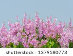 lagerstroemia speciosa at... | Shutterstock . vector #1379580773