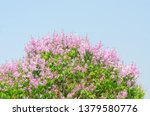lagerstroemia speciosa at... | Shutterstock . vector #1379580776
