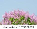 lagerstroemia speciosa at... | Shutterstock . vector #1379580779