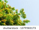 burma padauk or pterocarpus... | Shutterstock . vector #1379583173