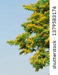 burma padauk or pterocarpus... | Shutterstock . vector #1379583176
