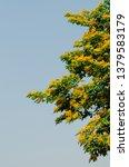 burma padauk or pterocarpus... | Shutterstock . vector #1379583179