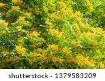 burma padauk or pterocarpus... | Shutterstock . vector #1379583209