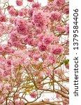 blooming pink trumpet tree or... | Shutterstock . vector #1379584406