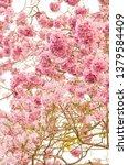 blooming pink trumpet tree or... | Shutterstock . vector #1379584409