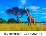 A Large Male Giraffe In Ruaha...