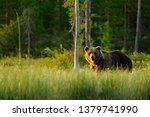 Sunset, morning light with big brown bear walking around lake in the morning light. Dangerous animal in nature forest and meadow habitat. Wildlife scene from Finland near Russian border.