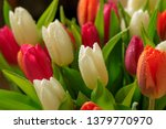 tulip flower close up  with... | Shutterstock . vector #1379770970