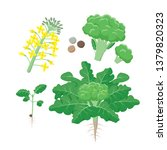 broccoli plant life cycle ... | Shutterstock .eps vector #1379820323