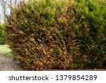 Dry Dying Plant Thuja In The...