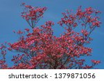 Coral pink of spring blooming dogwood flowers on dogwood tree against a clear blue sky, as a background, springtime in the Pacific Northwest