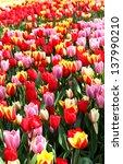 Holland Beautiful Vivid Tulip...