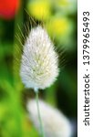 Stock photo detailed macro shot of a single lagurus ovatus a plant also known as hare s tail hare s tail 1379965493