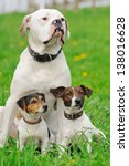 Two Jack Russel Terriers  And...
