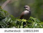 Small photo of Bay-winged Cowbird (Agelaioides badius badius), Bay-winged subspecies, at the Buenos Aires Ecological Reserve in Buenos Aires, Argentina.