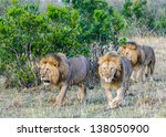 Group Of Lions Walk Over The...