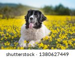 landseer dog pure breed