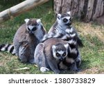 three lemurs in captivity. they ...   Shutterstock . vector #1380733829